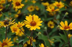 Find Prairie Sunset False Sunflower (Heliopsis helianthoides 'Prairie Sunset') in Mokena Tinley Orland Park Homer Chicago Joliet Illinois IL at Jim Melka Landscaping & Garden Center (Oxeye Daisy, Perennial Sunflower) Perennial Sunflower, Sunflower Garden, Types Of Sunflowers, Herbaceous Perennials, Sun Perennials, Sun And Water, Clay Soil, Plant Pictures, Tall Plants