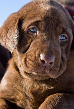 I just had to pin this chocolate lab, what a look!  I really miss my Choc Lab....