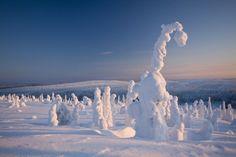 В Лапландии можно увидеть удивительную картину — деревья, закутанные в снежные покрывала.