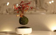 Air Bonsai Floating Trees Are Ancient Japanese Wishing Stars That Grow In Mid-Air -  #bonsai #japan #kickstarter
