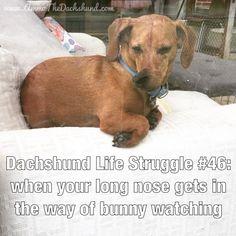 Dachshund Life Struggle with Ammo the Dachshund