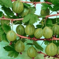 Pick wild gooseberries and grow cultured in backyard garden
