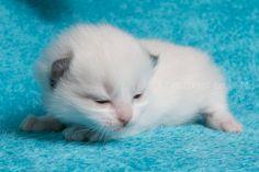 2015: Darcy A Zwollywood Cat. 2 Weeks old. Ragdoll kitten, seal bicolour. Dark world litter.