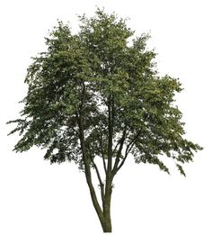 Texture png Tree big Plant