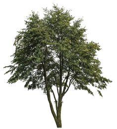 Texture png Tree big Plant