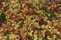 Plants for Fall Color (List)