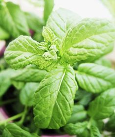 Thyme - Top Marjoram Substitutes and Health Benefits