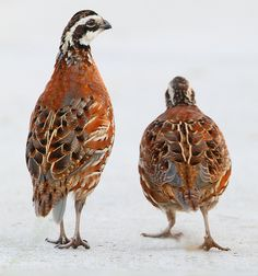 Bobwhite Quail...when I was a little girl, there were lots of quail on my Grandparent's old country place...my Dad use to call them 'quailey birds' when he would speak about them to me...a sweet memory!