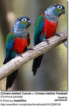 Pearly Conures by jacob79  {Caption says Crimson-bellied conure or Crimson-bellied Parakeet - sure are bright and cheerful!}