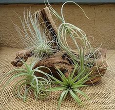 5-Pack-Assorted-Tillandsia-Air-Plants-Home-and-Garden-New