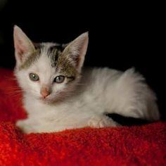 EDEL - Gato adoptado - AsoKa el grande
