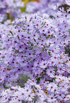 Aster 'Little Carlow'.Masses of small, cheerful, violet-blue daisies with bright yellow centres appear from late summer to mid-autumn on soft stems. A pretty aster that has been given the Award of Garden Merit by the Royal Horticultural Society. It loves some shade and will add a splash of colour to a late summer border.