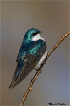wowtastic-nature: Tree Swallow by Daniel. Pretty Birds, Love Birds, Beautiful Birds, Beautiful World, Animals Beautiful, Small Birds, Colorful Birds, Tree Swallow, Mundo Animal
