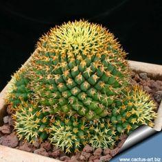 Dolichothele camptotricha f. Cactus Decor, Cactus Art, Cactus Flower, Cacti And Succulents, Planting Succulents, Desert Lizards, Cactus Quotes, Ironwood Tree, Cactus Planta