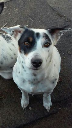 """Ashley PalmerLost Pet - Found Pet - Mendocino County January 24 ·    ***Missing*** female Jack Russell, her name is Annie, She also comes to """"Boo Boo"""" She was last seen the morning of 1-24-15, on Uva drive near.The Broiler. It is urgent we get her back ASAP. If you or anyone have seen her, contact me 707-380-9061 as soon as you can."""