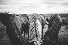 11x14 Fine Art Print - Icelandic Horses in the Golden Circle of Iceland - Taken in August 2015 - other print and canvas sizes available