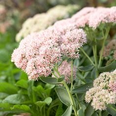Sedum and other plants for clay soil