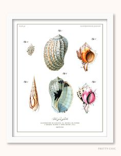 Vintage Shell - Shell Illustration - Natural History - Seashells - Shells- Antique Illustration - Natural History - Sealife - Beach.