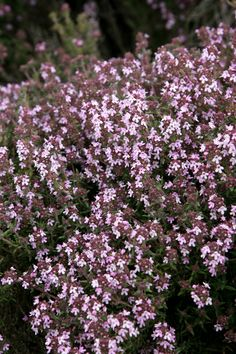 Thyme, Central Otago. Fragrance... http://www.centralotagonz.com/central-otago-wildflowers