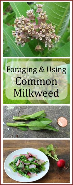 How to forage for common milkweed, with great photos for identification. Covers which parts are edible, and gives recipe for milkweed shoot and radish salad.