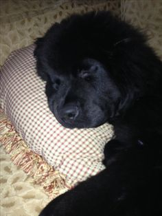 It's a rough life for a loved Newfie!!