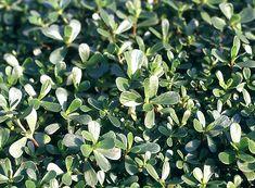 Erba Pucchiacchella, la Portulaca Oleracea: come si usa nelle ricette Artemisia Annua, Portulaca Oleracea, Oriental, Omega 3, Kraut, Herbal Remedies, Outdoor Gardens, Herbalism, Healthy Recipes