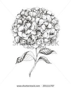 Hand-drawn hydrangea, vector illustration in vintage style.