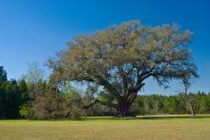 The Cellon Oak