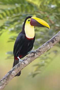 The Chestnut-mandibled Toucan, or Swainson's Toucan (Ramphastos ambiguus swainsonii) is a near-passerine bird which breeds from eastern Honduras to northern Colombia to western Ecuador.
