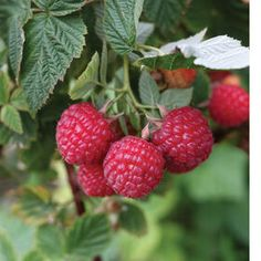 Red Raspberry Plant Collection | Johnny's Selected Seeds Organic Gardening, Gardening Tips, Urban Gardening, Raspberry Plants, Raspberry Seeds, Red Raspberry, Fruit Plants, Blackberry, Growing Raspberries