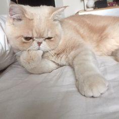 おはようございマッシュ! 土曜の朝はチビマッシュ。 クリームパンをパクリ。 #目が #悪代官 #チビマッシュ #mash1126a #マッシュのぺちゃんこライフ #cat #マッシュ #エキゾチックショートヘア #ねこ #ネコ #猫 #kitty #neko #猫部 #ねこ部 #ねこあつめ #にゃんだふるらいふ #猫莫迦 #catstagram #ExoticShorthair