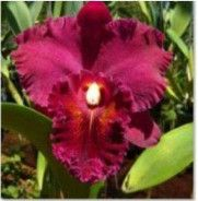 Site to sell your orchid plants Cattleya Orchid, Orchid Plants, Beautiful Flowers, Bloom, Snow White, Bb, Things To Sell, Photos, Gardening