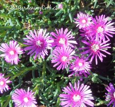 This Purple ice plant - lamprantus- is a great ground cover.  Just one of many flowers in my garden here is NC.  See more at http://thegardeningcook.com/gardening-in-may/