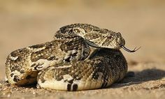 puff adder - A puff adder illustrates the relative inactivity of reptiles compared to mammals: one large meal can last up to a year. I've seen a few of these when I was in South Africa, you have to be very careful not to tread on one. Reptiles And Amphibians, Mammals, Free Short Stories, Pit Viper, In Cold Blood, Snake, Planting Roses, Venom, South Africa