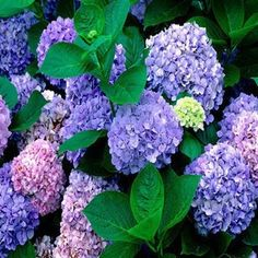 >> Click to Buy << 100pc/lot Free shipping Flower seeds purple Hydrangea evergreen woody flowering long Hydrangea #Affiliate