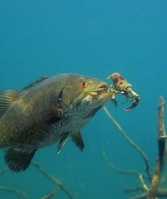 Underwater photos how bass eat for Eating mullet fish