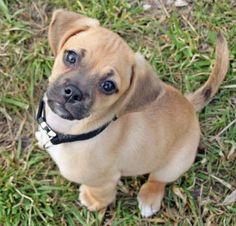 puggle puppy!!