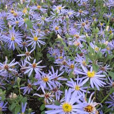 Aster Macrophyllus Twilight Find This Pin And More On Garden North Facing