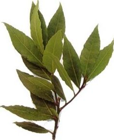 Bay Leaf Wine Recipe -- I think I'm nearly required to make this, given that I'm one of the Laurus family. Laurel Leaves, Bay Leaves, Plant Leaves, Laurus Nobilis, Bay And Bay, Green Home Decor, Aromatherapy, Essential Oils, Herbs