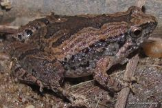 Frogs – Page 2 – Reptiles and Amphibians of Thailand Chiang Rai, Frog And Toad, Reptiles And Amphibians, Frogs, Colorful, Animals, Animales, Animaux, Animal