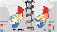 Maptitude: Zebras' stripe thickness and definition correlate with the temperature of their environment.