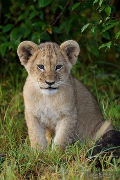 Lion Cub by Jon Newman on Flickr.