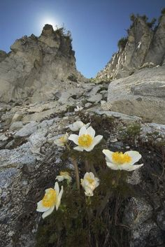 Alpine Flowers, Alpine Plants, Yosemite National Park, National Parks, Yosemite Mountains, Trinity Alps, Wonderful Places, Beautiful Places, World Pictures