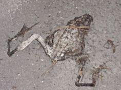 Dead Frog...