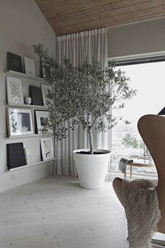 Beautiful olive tree in the living room 2019 Indoor olive tree in the house of Nina Holst of Stylizimo The post Beautiful olive tree in the living room 2019 appeared first on Curtains Diy. Indoor Olive Tree, Indoor Trees, Family Room Curtains, Curtains Living, White Curtains, Neutral Curtains, Living Room Scandinavian, Living Room White, Scandinavian Design