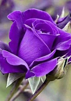 Pearl                                                                                                                                                                                 Mais Rosas Roxas, Roses Pourpres, Lavender Roses, Purple Flowers, Exotic Flowers, Love Flowers, Pretty Roses, Beautiful Roses, Good Morning Roses