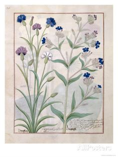 Illustration from the Book of Simple Medicines by Mattheaus Platearius Giclee Print by Robinet Testard - AllPosters.ca