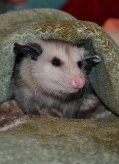 This possum just loves cuddling up in her warm blanket.