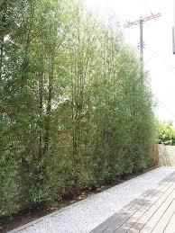 pittosporum silver sheen (as loose hedge) Hedges Landscaping, Modern Landscaping, Backyard Landscaping, Backyard Privacy, Landscaping Ideas, Backyard Ideas, Garden Ideas, Privacy Trees, Privacy Plants