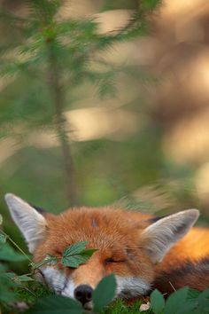 Foxes morning...